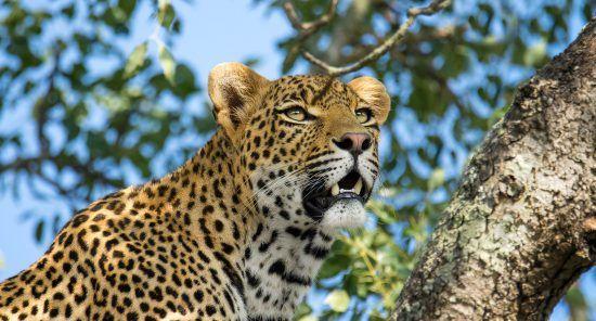 La elegancia del leopardo sobre los árboles