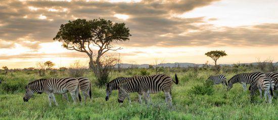 Zebras grasen im hohen Gras im Madikwe Game Reserve in Südafrika