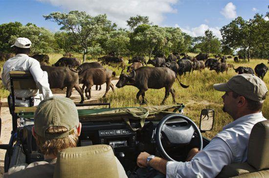 Veículo de safári encontra manada de búfalos na Reserva Thornybush