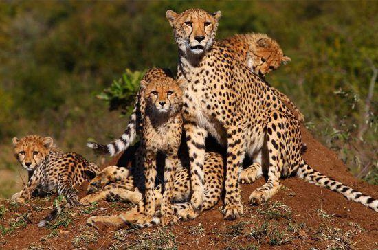 Familia de guepardos descansando durante el día.