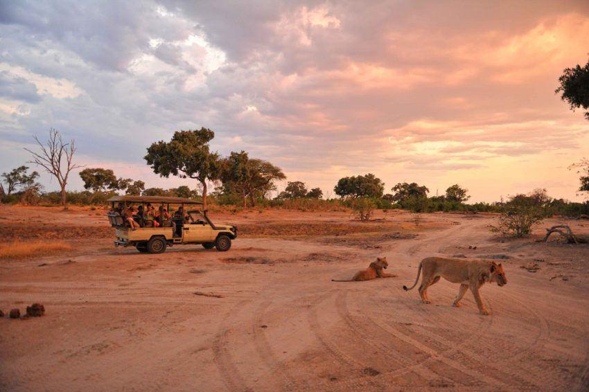 Löwen im Sonnenuntergang in Somalisa