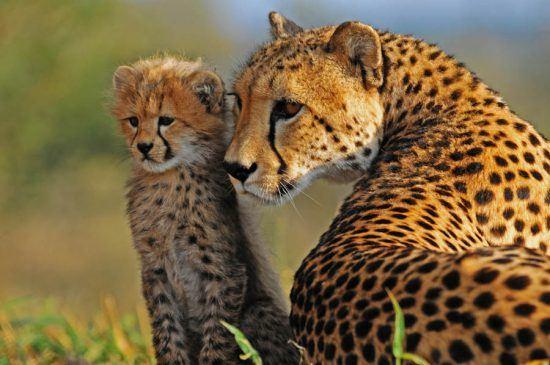 Gepardin mit Nachwuchs in grüner Graslandschaft