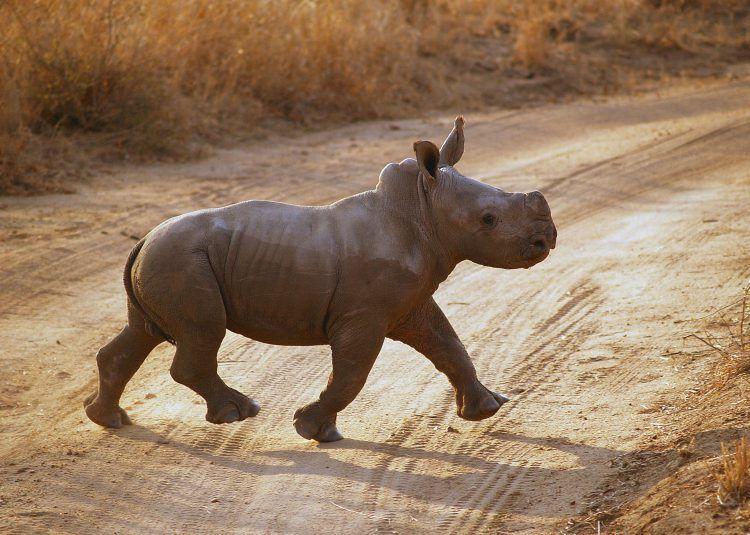 Un petit rhinocéros traversant la route dans une réserve naturelle, association contre braconnage rhinocéros namibie