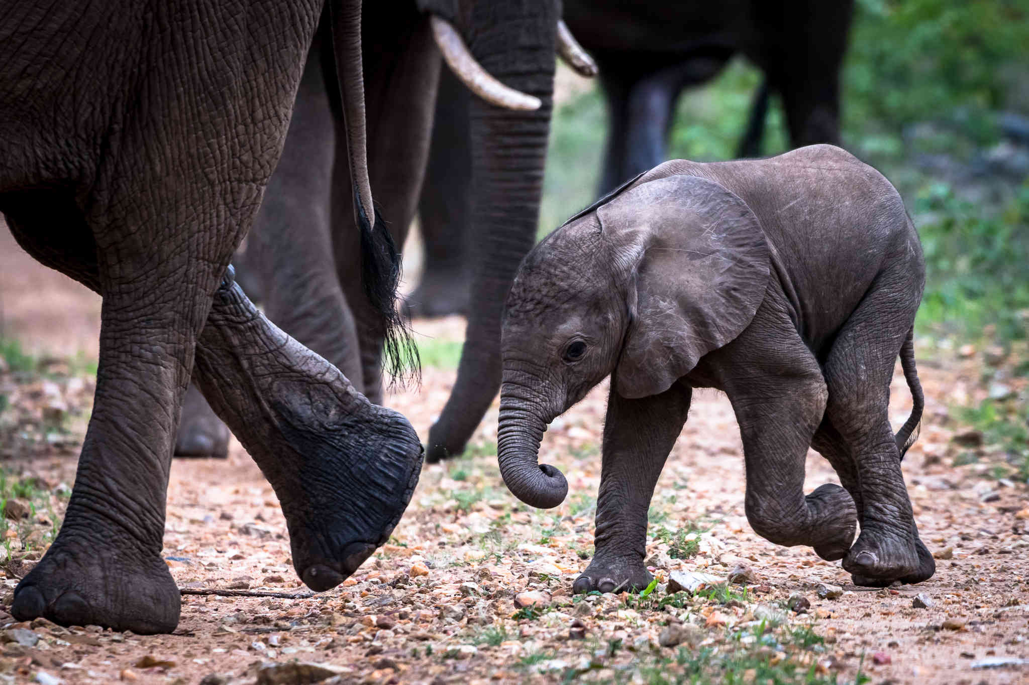 Baby elephant walking with its mom