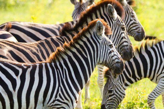 Zebras enfileiradas na Reserva Klaserie