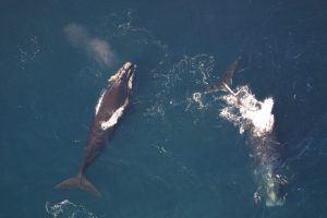 Dos ballenas francas australes
