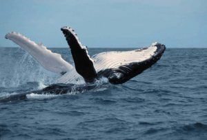 Una ballena jorobada saltando en el mar