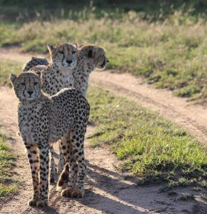 Cheetah are found surveying the road