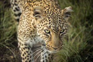 La mirada penetrante de un hermoso leopardo