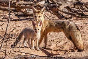 Foxes look at the camera entered into wildlife portraits