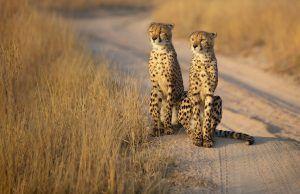 Dos guepardos, una de las especies de los grandes felinos