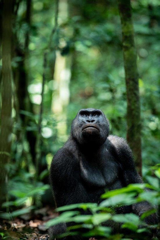 Dian Fossey quedó sorprendida por la inteligencia de este animal durante sus años en Áfric