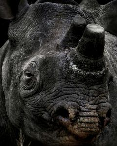 APOTY Photo: A dehorned rhino
