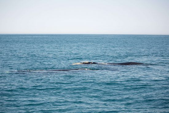 Southern rights whales breed in South African waters for 5 months each year