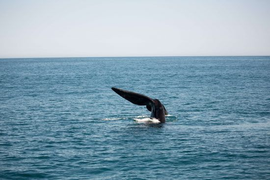 One of the larger members of the Marine Big 5, Humpback whales can weight around 25-30 metric tons