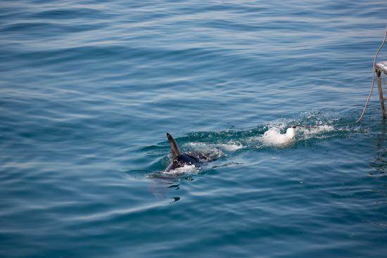 Tubarões-brancos são o peixe predador de maiores dimensões do planeta