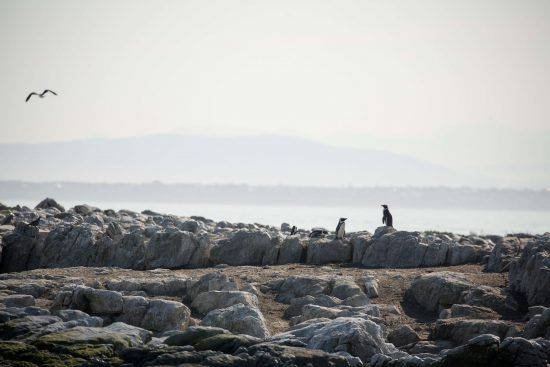 Les manchots du Cap sur l'île de Dyer : une espèce en danger.