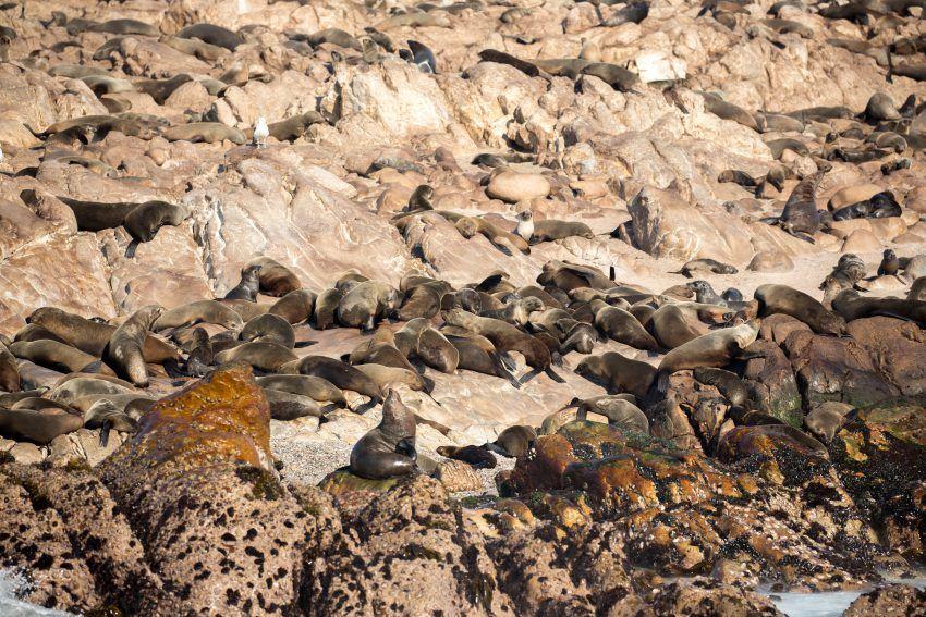 Robbenkolonie vor Südafrika