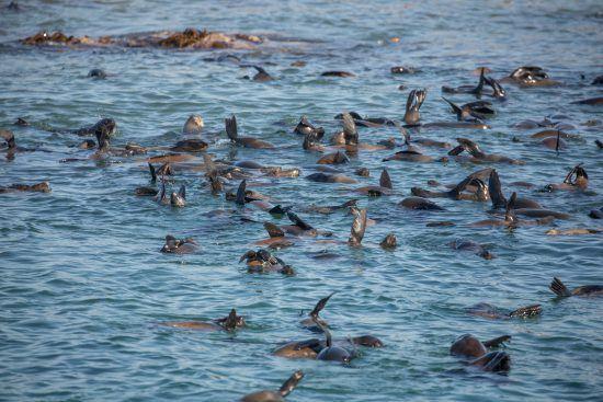Otaries à fourrure du Cap sur l'île de Dyer dans la baie de Gansbaai et Hermanus.