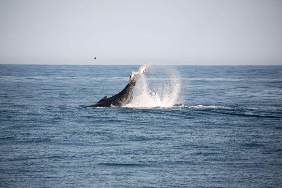 Baleines à bosse en Afrique du Sud à Hermanus dans le cadre d'une croisière d'observation des baleines