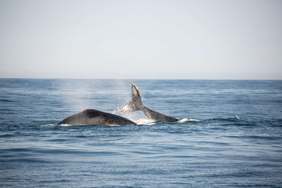 Humpback whales abound in the Southern African seas during mating season