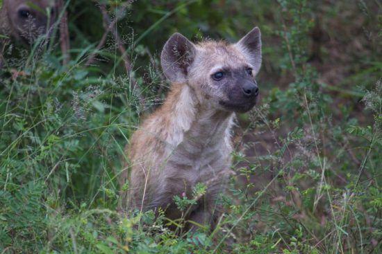 La hiena, uno de los animales más inteligentes del planeta