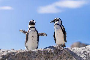 Los pingüinos de Ciudad del Cabo