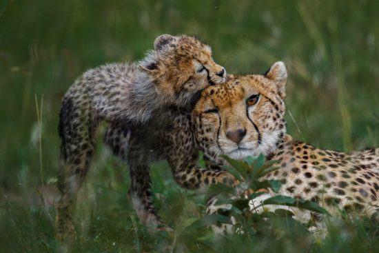 Tierwelt im Timbavati Reservat: Ein Gepard mit Nachwuchs