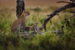 Dos leopardos sobre la rama de un árbol