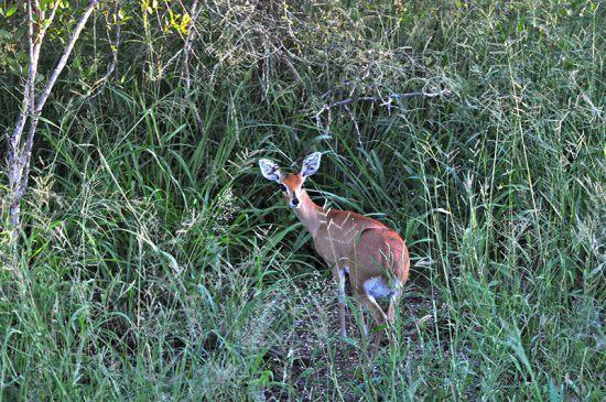 Duiker é visto nos arredores de Cheetah Plains.