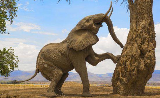 Ein Elefantenbulle kurz vor dem Stand auf seinen zwei Hinterbeinen im Mana Pools Nationalpark