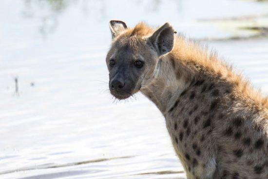 Nahaufnahme einer Hyäne, die am Wasser steht - Unterschied zwischen Hyänen und Wildhunden