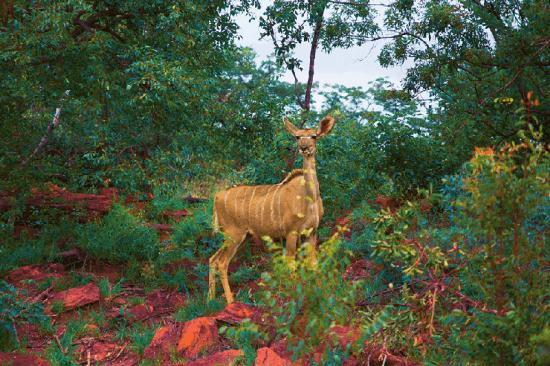 Kudu fêmea na Reserva Welgevonden, África do Sul. Foto: Nathalia Marangoni