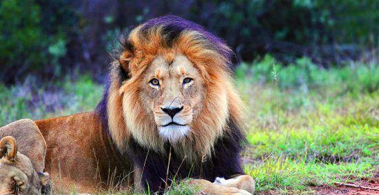 La melena del león macho, una de sus características más visibles