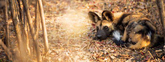 Ein Afrikanischer Wildhund ruht sich in einem Wald aus
