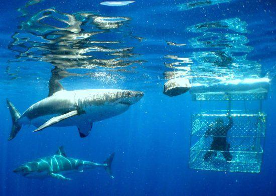 Dos tiburones nadando junto a una persona protegida tras una caja