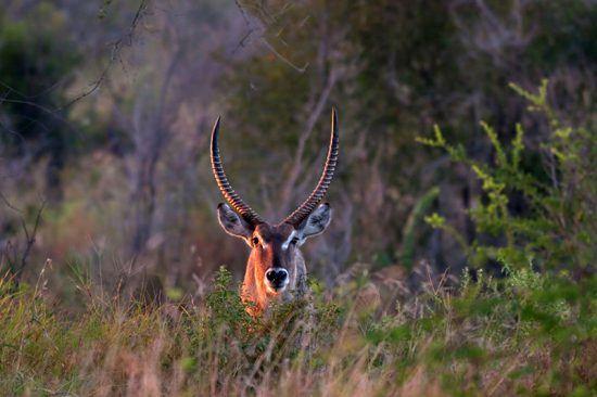 Waterbuck à espreita nos arredores de Umkumbe Safari Lodge