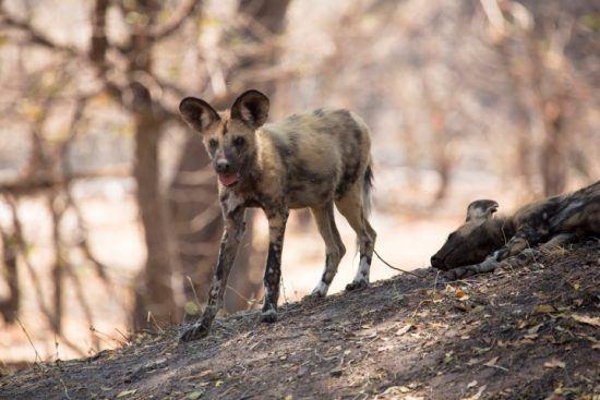 Ein Afrikanischer Wildhund im Schatten von Bäumen