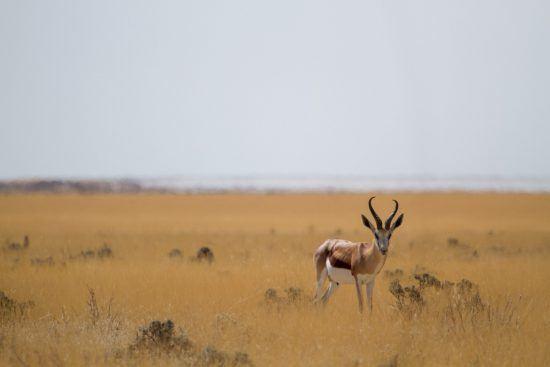 Springbock croisée lors d'un safari à Etosha en Namibie.