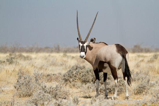 Oryx dans les plaines du Parc national d'Etosha