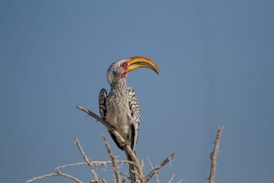 Safari à Etosha et Calao leucomèle au sommet d'un arbre en Namibie.