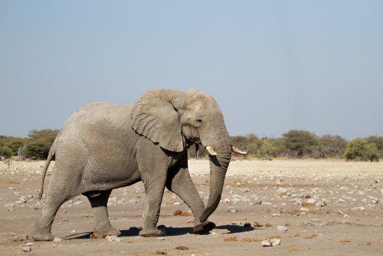 Safari à Etosha et éléphant, Big 5 africain.
