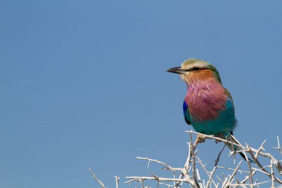 Lilac breasted roller au Parc National d'Etosha, Namibie.