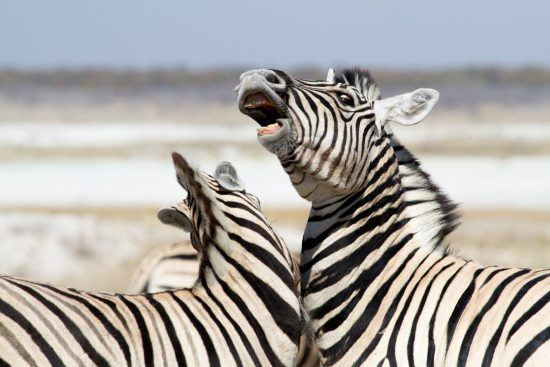 Bataille entre deux zèbres à Etopsha en Namibie.