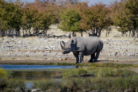 Rhinocéros noir en Namibie, safari à Etosha