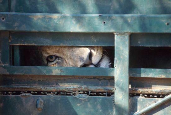 """Lion dans une cage direction une réserve de chasse. Image du documentaire """"Blood Lions'."""