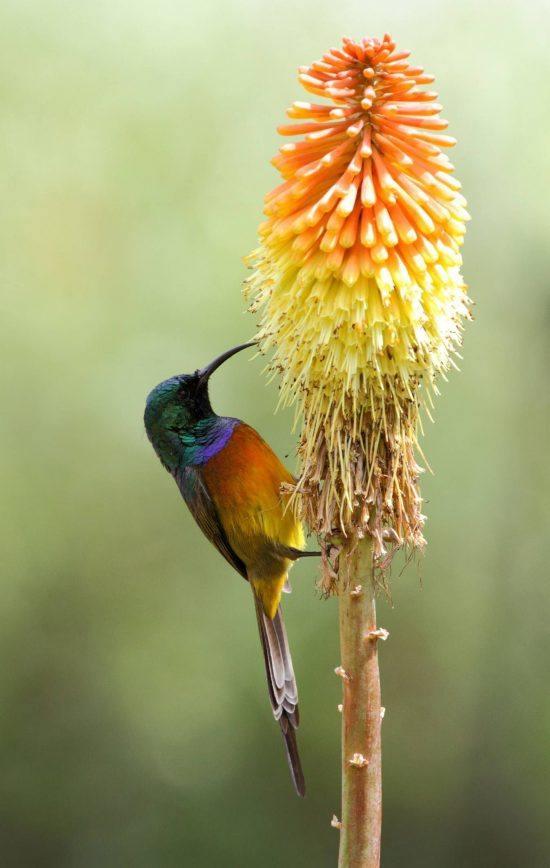 Beija-flor-de-peito-laranja, ndêmico do habitat dos fynbos do sudoeste da África do Sul