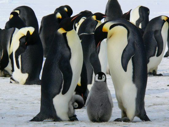 El pingüino emperador, el más grande de entre todas las especies