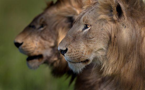 Zwei männliche Löwen im Portrait