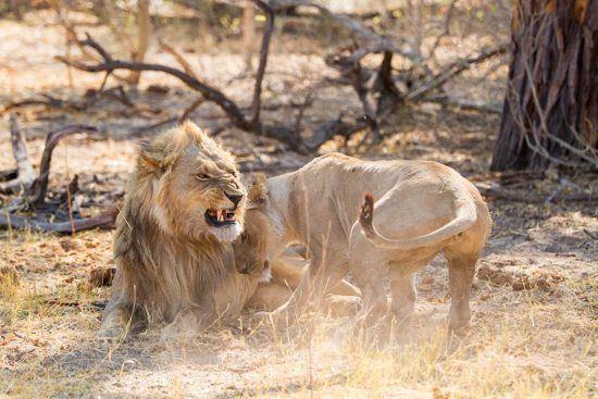Leões sãp vistos durante safári no Botsuana